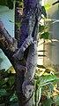 Uroplatus fimbriatus (1).jpg