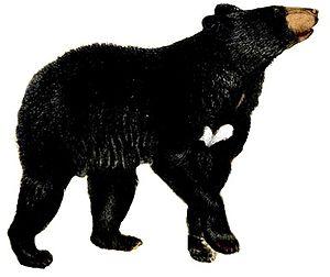Musteloidea - American black bear