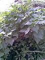 Urtica dioica.jpg