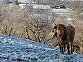 Vacas en el prado invernal.jpg