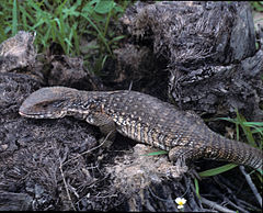 240px varanus exanthematicus in the wild