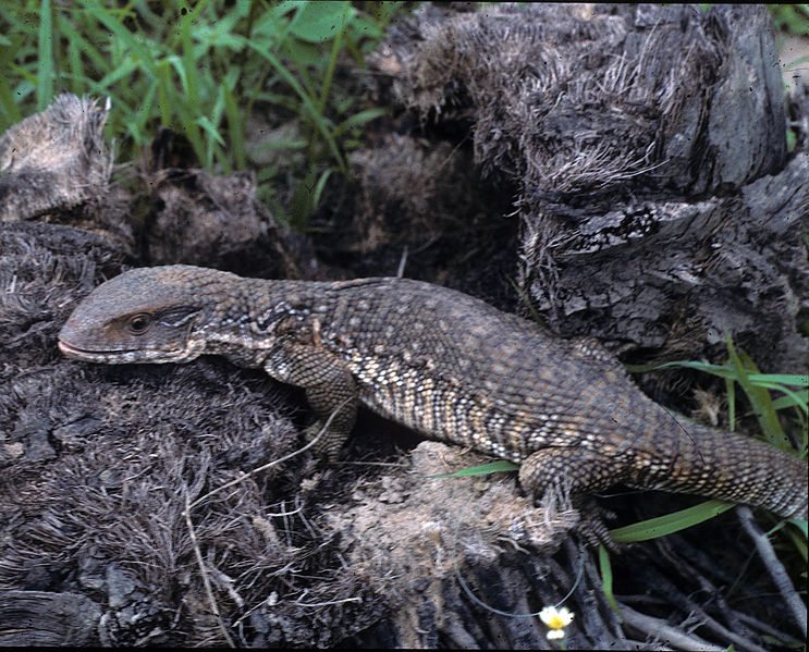 File:Varanus exanthematicus in the wild.jpg