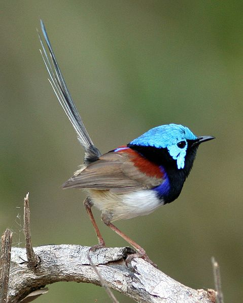 File:Variegated Fairy-wren male.jpg
