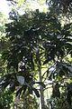 Vateria copallifera.jpg