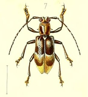 <i>Velleda murina</i> Species of beetle