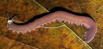 Onychophora - An Oroperipatus species