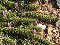 Verbena bracteata (5241563765).jpg