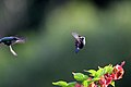 Vervain hummingbirds (Mellisuga minima) courting.jpg