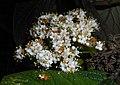 Viburnum rhytidophyllum 2016-05-17 0594.jpg