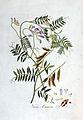 Vicia cracca — Flora Batava — Volume v3.jpg