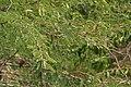 Vilaiti Keekar (Prosopis juliflora) W IMG 6936.jpg