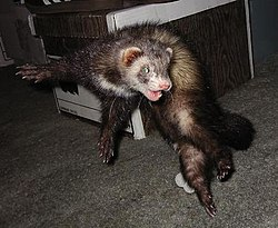 meaning of ferret