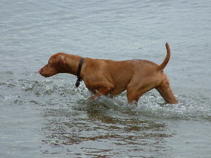 Vizsla - Vizslas are excellent swimmers.