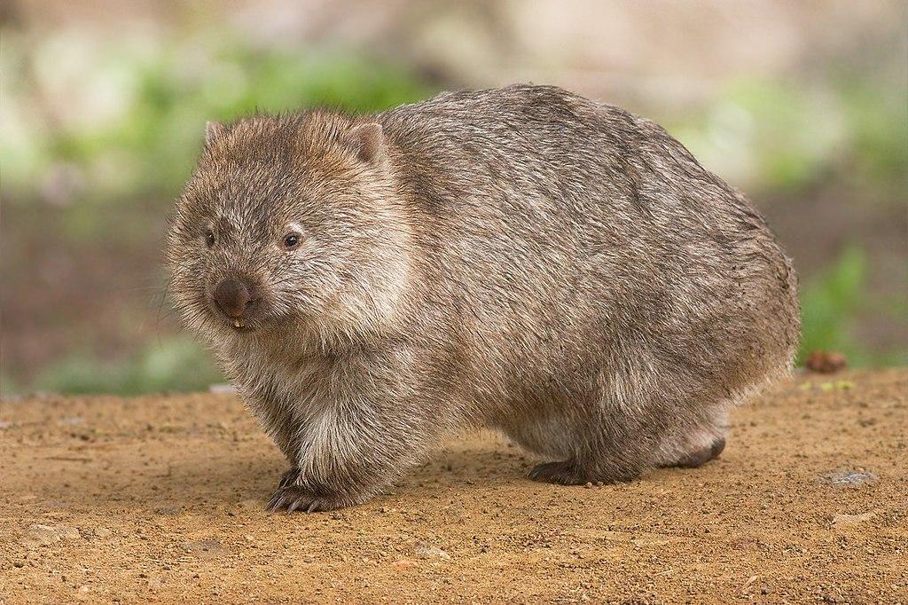 wombat en australie
