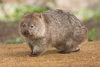 Wombat - Common wombat  Maria Island, Tasmania