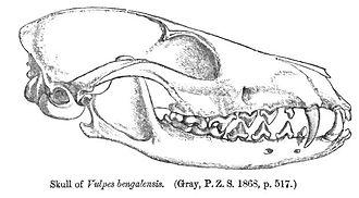 Bengal fox - Skull