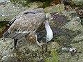 Vulture(20071030).jpg