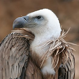 Vulture beak sideview A