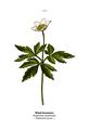 WWB-0017-003-Anemone nemorosa.png