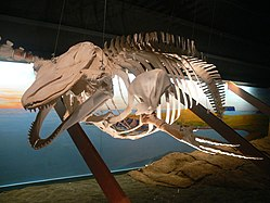 Skeleton on display in the Húsavík Whale Museum