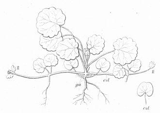 Glechoma hederacea - Glechoma hederacea seedling: cot = cotyledons; ga = axillary bud. From (Warming 1884)