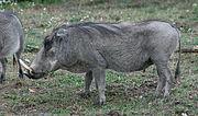 Warthog (Phacochoerus africanus) (0288) - Relic38.jpg
