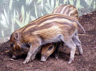 Visayan warty pig - Visayan Warty Pig piglets, Sus cebifrons