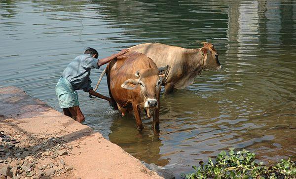Traumatic reticuloperitonitis in cattle