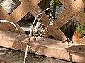 Wasp nest in yard (Aruba).jpeg