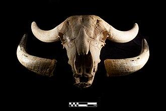 Water buffalo - Water buffalo skull