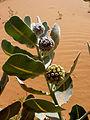 Welsh milkweed (Asclepias welshii) (6307383974).jpg