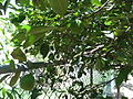 West Indian Lime Tree.jpg