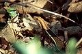 Western Girdled Lizard (Zonosaurus laticaudatus) (44613132534).jpg