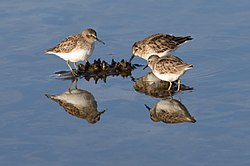 Western Sandpipers on Skaggs Island.jpg