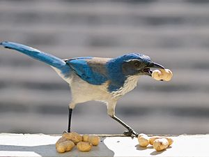 Hoarding (animal behavior) - Western scrub jays cache food such as acorns and insects.