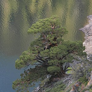 Juniperus occidentalis - Large Juniperus occidentalis var. australis, in Ansel Adams Wilderness
