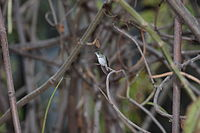 White-bellied Hummingbird (Amazilia chionogaster)