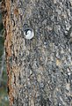 White-breasted nuthatch (24274016332).jpg