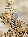 White-browed Tit Warbler (Leptopoecile sophiae) (38061041556).jpg