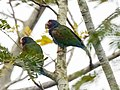 White-crowned parrots (16405460688).jpg