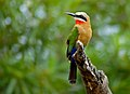 White-fronted Bee-eater (Merops bullockoides) (13584531745).jpg