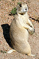 White-tailedprairiedoglarge.jpg