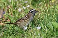White-throated Sparrow (playing around with cropping) (31672891883).jpg
