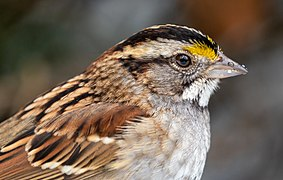 White-throated sparrow in CP close up (02081).jpg