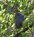 White-winged Dove. Zenaida asiatica - Flickr - gailhampshire (1).jpg