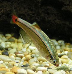 White Cloud Mountain Minnow 2.jpg