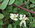 White Ramping Fumitory (Fumaria capreolata) - geograph.org.uk - 1271712.jpg