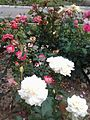 White and Pink Roses Harmony.jpg