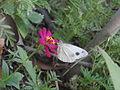 White butterfly in flower.JPG