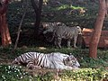 White tigers at IGZoo park 03.jpg
